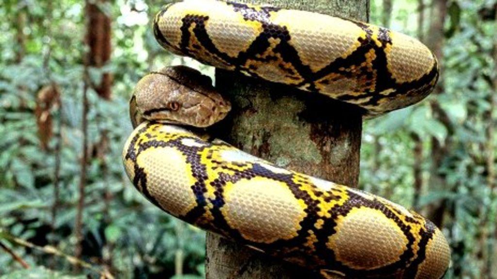 The Pythons Prey